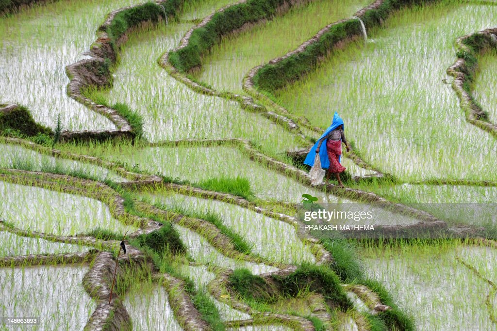 A Nepalese farmer walks past rice paddy fields at Khokana village on the outskirts of Kathmandu on July 19, 2012. Rice accounts for almost 50 percent of cereal production in Nepal, which is particularly dependent on rainfall because less than one-third of its agricultural land is irrigated. AFP PHOTO/Prakash MATHEMA
