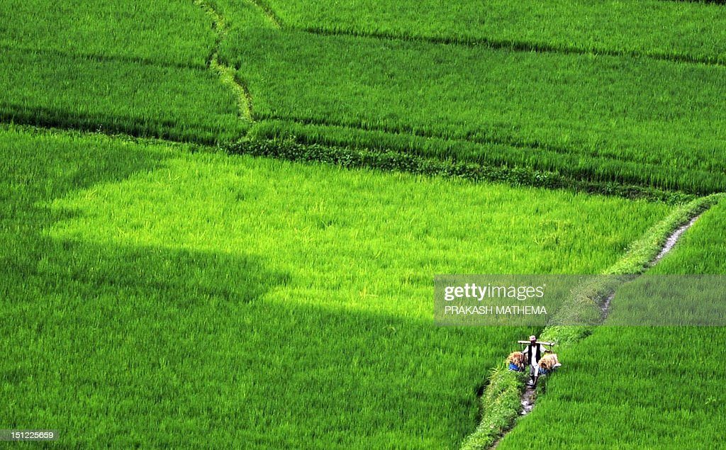 A Nepalese farmer walks through a paddy field to his home in the village of Khokana, on the outskirts of Kathmandu on September 4, 2012. Over 80 percent of Nepal's 27 million population depends upon agriculture and paddy is the major crop in the Himalayan nation. AFP PHOTO/Prakash MATHEMA