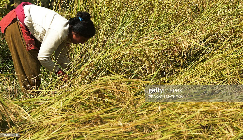 A Nepalese farmer winnows harvests rice at Sankhu on the outskirts of Kathmandu on October 13, 2012. Over 80 percent of Nepal's 27 million population depends upon agriculture and paddy is the major crop in the Himalayan nation. AFP PHOTO/ Prakash MATHEMA