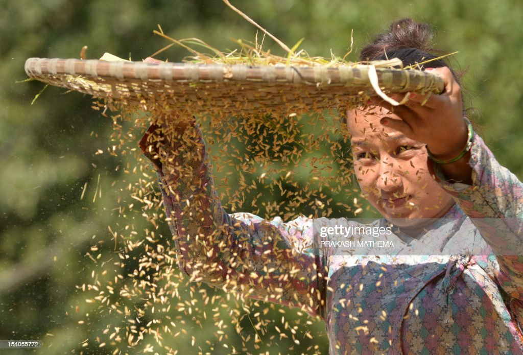 A Nepalese farmer winnows rice during harvesting at Sankhu on the outskirts of Kathmandu on October 13, 2012. Over 80 percent of Nepal's 27 million population depends upon agriculture and paddy is the major crop in the Himalayan nation. AFP PHOTO/ Prakash MATHEMA