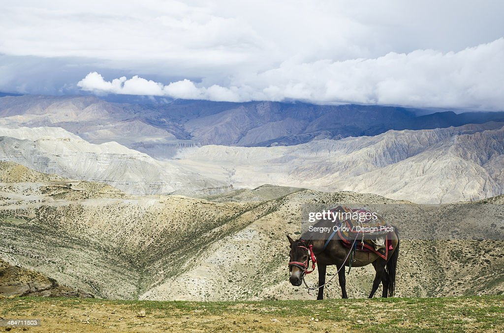 Nepalese horse rests on a mountain pass along the route from samar to gemi