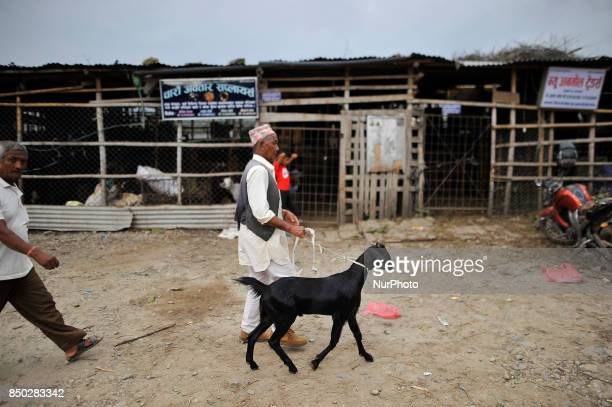 A Nepalese man dragging goat after buying for the Dashain the biggest religious festival of Hindus in Nepal on Wednesday September 20 2017 at...