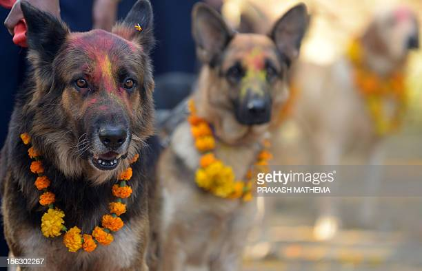 Nepalese police dogs look on after being smeared with vermillion on their foreheads and marigold garlands placed around their necks on the occasion...