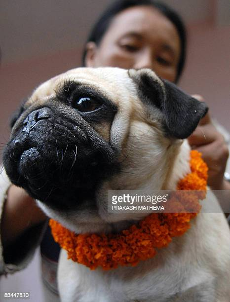 A Nepalese woman garlands a dog as part of the Tihar festival in Kathmandu on October 27 2008 On the occaision of Tihar as the Hindu festival of...