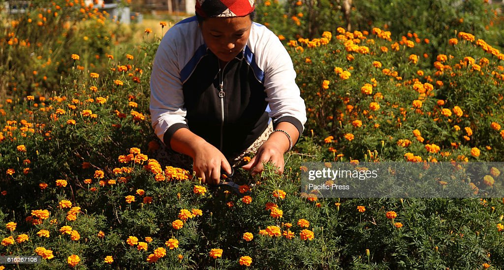A Nepali woman plucks marigold flowers prior to Tihar festival,which is known as festival of flowers and lights at a flower farm.