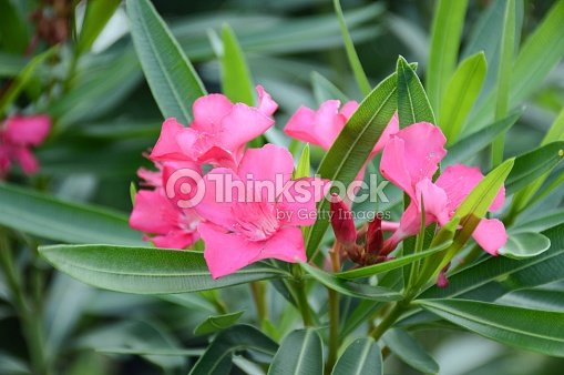 nerium oleander flower stock photo thinkstock