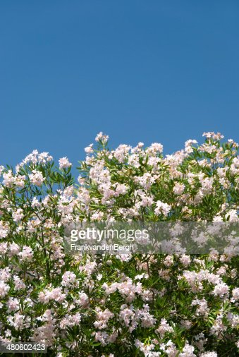 Nerium Oleander : Stock Photo