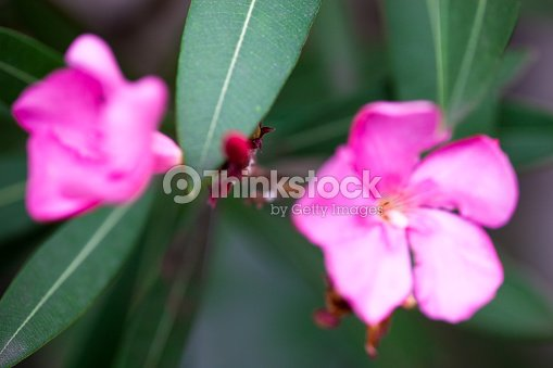 nerium oleander pink flowers and buds stock photo thinkstock