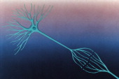 Nerve cells optic nerve Drawing