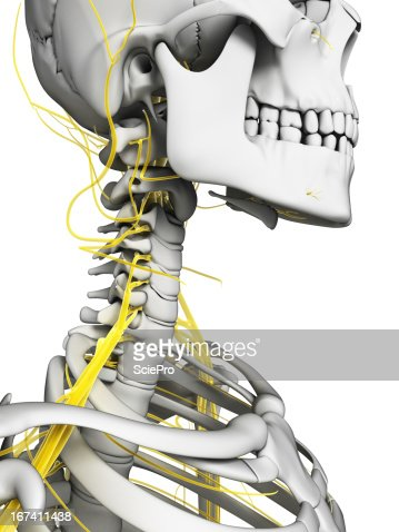 nerves of the neck : Stock Photo