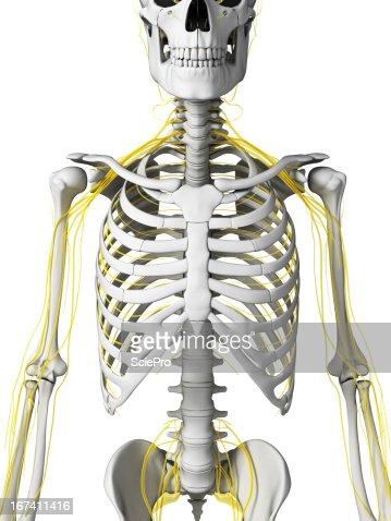 nerves : Stock Photo