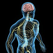 The nervous system is the part of an animal's body that coordinates its voluntary and involuntary actions and transmits signals between different parts of its body.