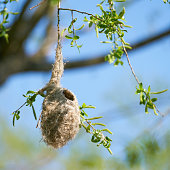 Nest of a Penduline Tit (Remiz pendulinus) in spring in a nature reserve near Magdeburg in Germany