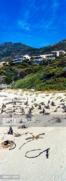 A nesting colony of African Penguins on a beach near a towns residential estate.