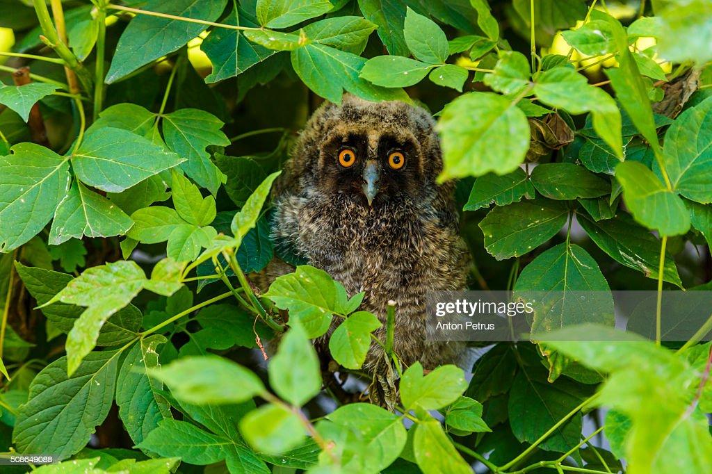 Nestling owl in the bushes : Stock Photo