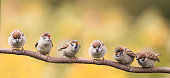 nestlings of a Sparrow sitting on a tree branch revealing the little beaks waiting for food
