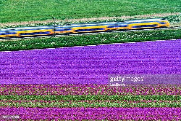 Netherlands, Aerial view of train on tulip fields near Den Helder