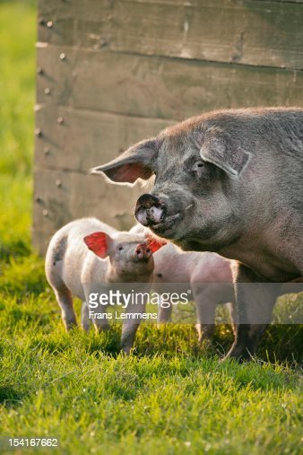 Netherlands, Kortenhoef, Piglets and sow : Stock Photo