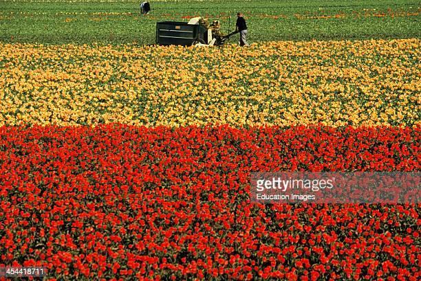 Netherlands Near Lisse Dutch Bulb Fields