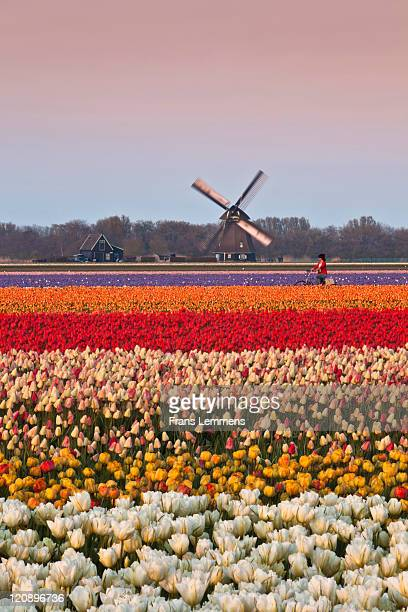 Netherlands, tulip field. Woman cycling, windmill