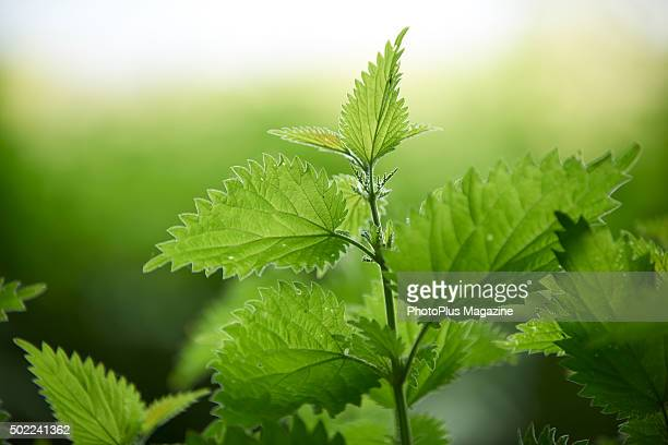 Nettle leaves in a woodland in Dorset taken on May 19 2015
