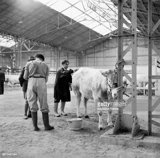 Nettoyage d'une vache au Salon de l'agriculture à Paris France en 1952