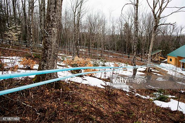 A network of vacuum tubes carries sap from taps in maple trees into the sugar house at April's Maple in Canaan Vermont US on on Thursday April 23...