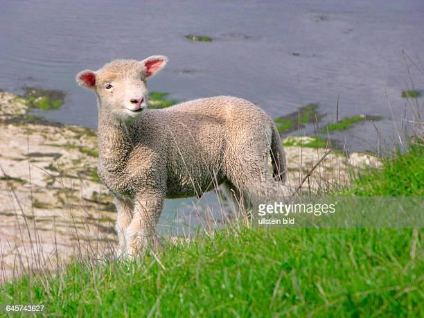 Neuseeland Junges Schaf Lamm