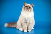 studio photo session of the Neva Masquerade Cat