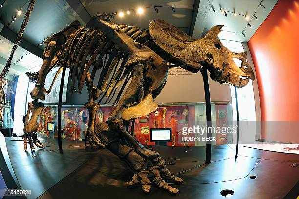 A neverbefore displayed Triceratops greets visitors at the allnew 14000 square foot Dinosaur Hall permanent exhibition at the Natural History Museum...
