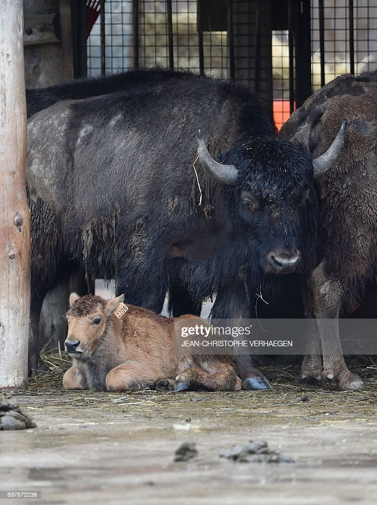 A new born american bison is pictured on June 2 2016 at the zoological park of Amneville western France / AFP / JEANCHRISTOPHE VERHAEGEN