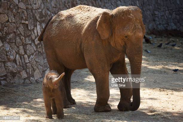 New born Asian elephant calf Lalana plays at the Safari Zoo on October 13 2013 in Ramat Gan Israel Lalana was born one week ago