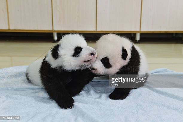 New born baby giant pandas appear at China Conservation and Research Center for the Giant Panda on October 24 2015 in Ngawa Tibetan and Qiang...