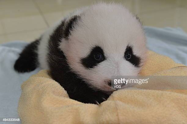 A new born baby giant pandas appears at China Conservation and Research Center for the Giant Panda on October 24 2015 in Ngawa Tibetan and Qiang...