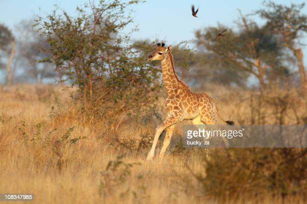 New born baby giraffe running in a African woodland