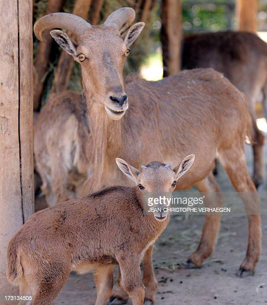A new born barbary sheep is pictured with its mother at the zoo of the French eastern city of Amneville on July 8 2013 AFP PHOTO / JEANCHRISTOPHE...