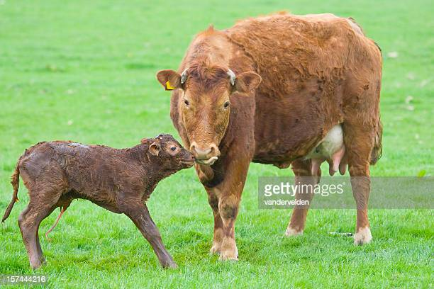 New Born Calf Series