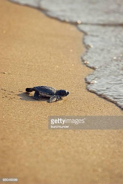New born Caretta (loggerhead) sea turtle crawling on golden sands