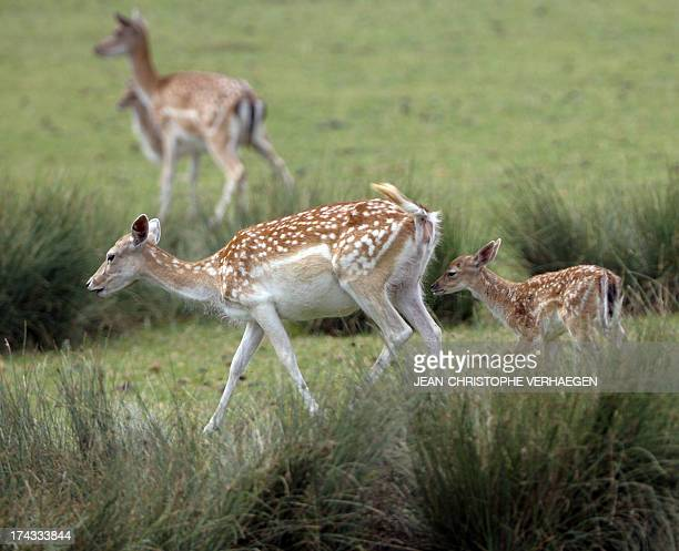 A new born fallow deer follows his mother at the SainteCroix zoologic park in the French eastern city of Rhodes on July 24 2013 AFP PHOTO /...