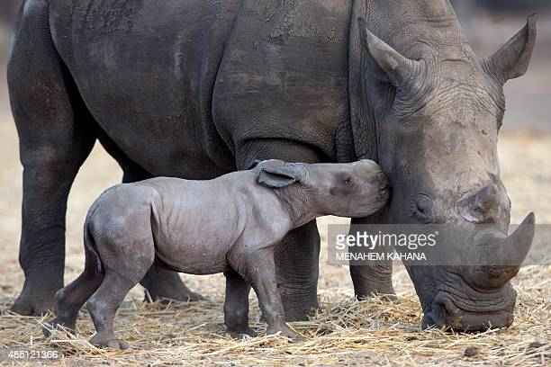 A new born female Squarelipped Rhinoceros is seen with her sixyear oldmother Keren at the Ramat Gan Safari zoo near Tel Aviv on August 24 2015 AFP...