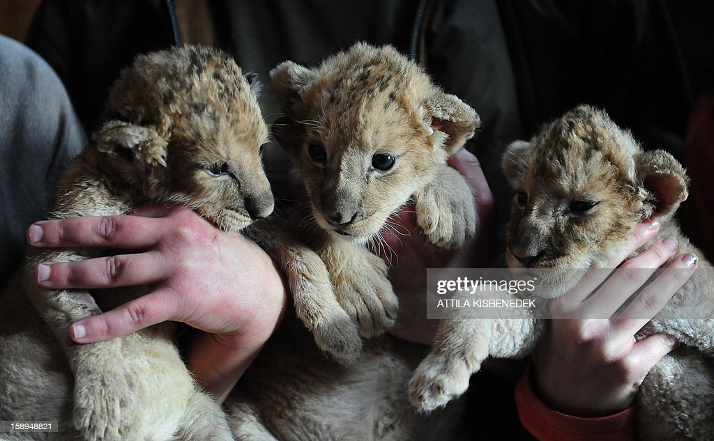 New born lion babies are held by zoo-owner and local zoo keepers in the 'Szorako-Zoo' of Gyongyos, Hungary, on January 4, 2013. The lion babies were born three weeks ago in December and will be shown to the public after their first vaccination, in middle of January. AFP PHOTO / ATTILA KISBENEDEK