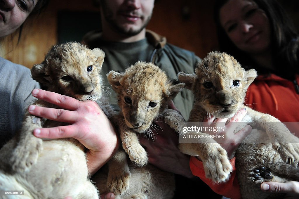 New born lion babies are held by zoo-owner Henrietta Barcai (L), local zoo keepers Gabor Roszik (C) and Blanka Moczar (R) in the 'Szorako-Zoo' of Gyongyos, Hungary, on January 4, 2013. The lion babies were born three weeks ago in December and will be shown to the public after their first vaccination, in middle of January. AFP PHOTO / ATTILA KISBENEDEK