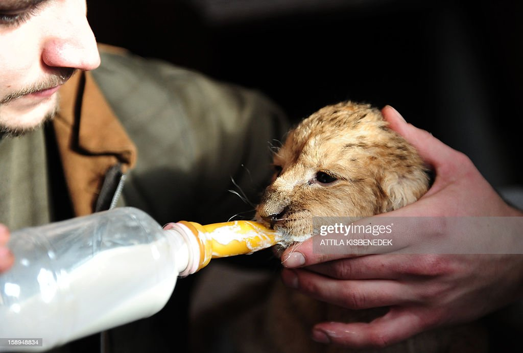 A new born lion baby is feed by zoo keeper Gabor Roszik in the 'Szorako-Zoo' of Gyongyos, Hungary, on January 4, 2013. Three lion babies were born three weeks ago in December and will be shown to the public after their first vaccination, in middle of January.