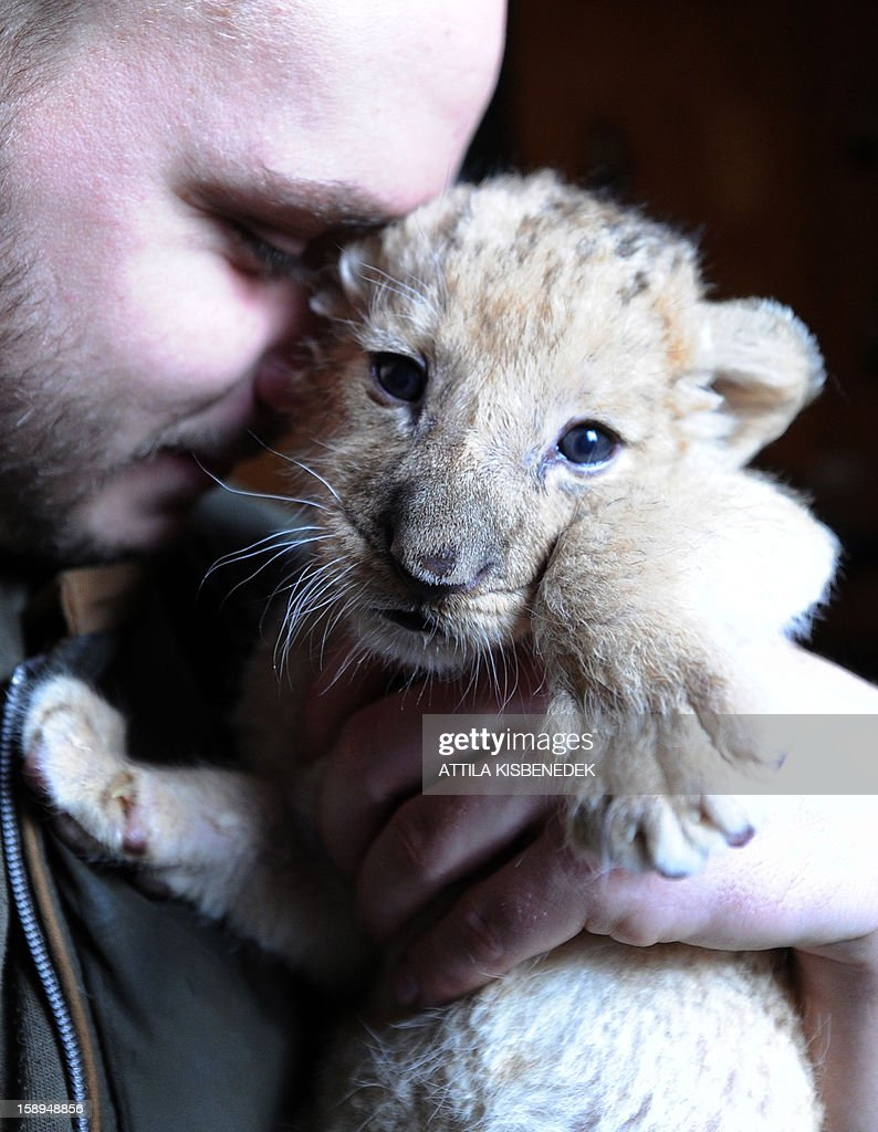 A new born lion baby is playing with a zoo keeper in the 'Szorako-Zoo' of Gyongyos, Hungary, on January 4, 2013. Three lion babies were born three weeks ago in December and will be shown to the public after their first vaccination, in middle of January.