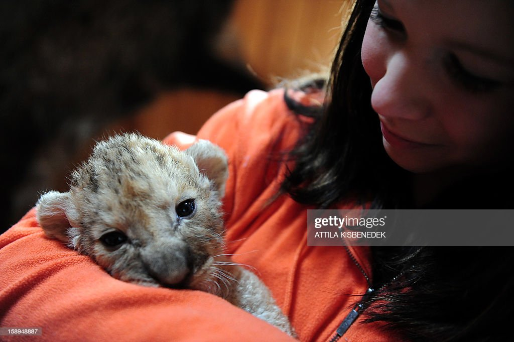 A new born lion baby is shown by zoo keeper Blanka Moczar in the 'Szorako-Zoo' of Gyongyos, Hungary, on January 4, 2013. Three lion babies were born three weeks ago in December and will be shown to the public after their first vaccination, in middle of January.