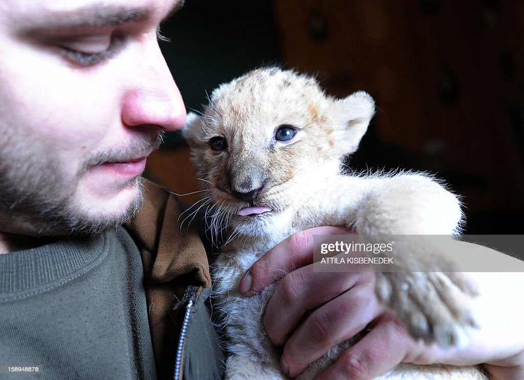 A new born lion baby plays with a zoo keeper in the 'Szorako-Zoo' of Gyongyos, Hungary, on January 4, 2013. Three lion babies were born three weeks ago in December and will be shown to the public after their first vaccination, in middle of January. AFP PHOTO / ATTILA KISBENEDEK