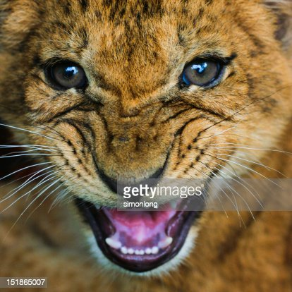 New born lion : Stock Photo