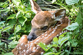 New born whitetail deer