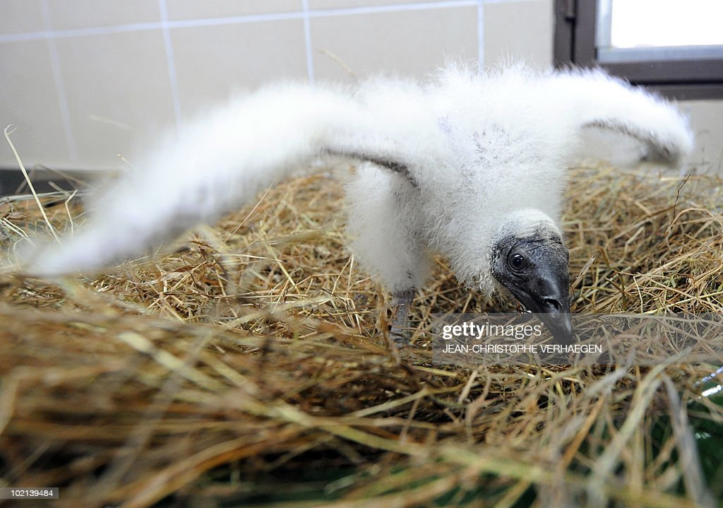 A new born Turkey Vulture bird (Cathartes aura) is pictured at the Amneville zoo, eastern France, on June 04, 2010.