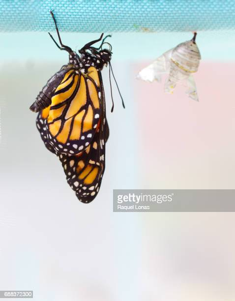 New butterfly next to empty chrysalis